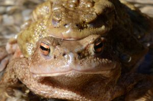 mating_toads