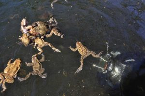 mating_toads_and_unterwater_camera